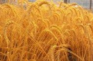 Бизнес план выращивания зерновых культур